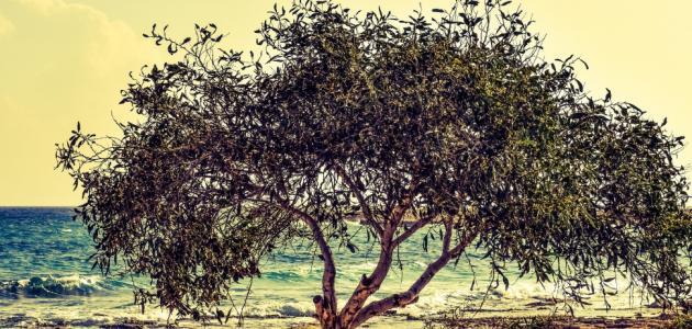زراعه اشجار الزيتون في تونس