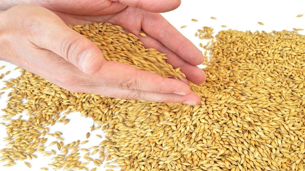 الأهمية الاقتصادية والقيمة الغذائية لشعير العلف